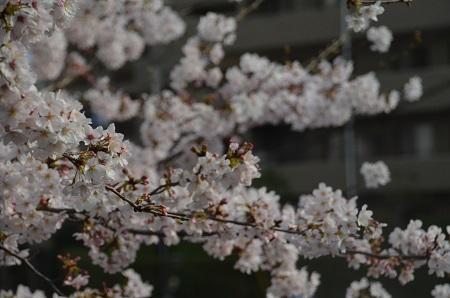 20160406桜17
