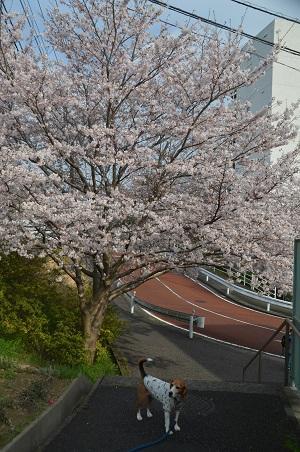 20160406桜15