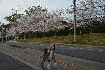 20160406桜14