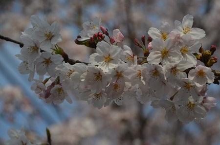 20160406桜19