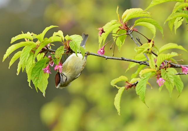 阿里山の野鳥(2)