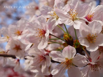 160402桜UP