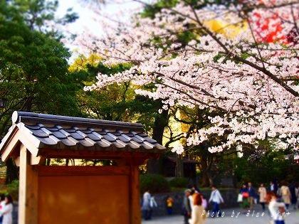 160402桜和