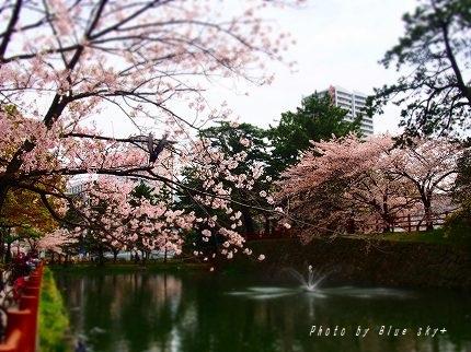 405噴水と桜
