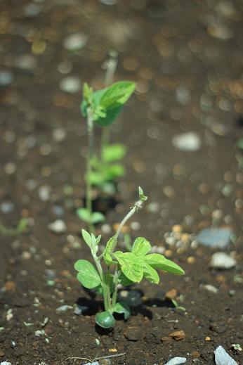 枝豆(5)