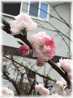 160405 桜②