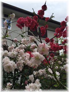 160405 桜
