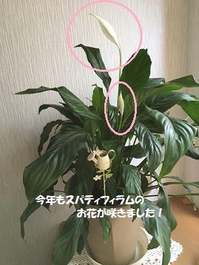 160430 スパティフィラム開花