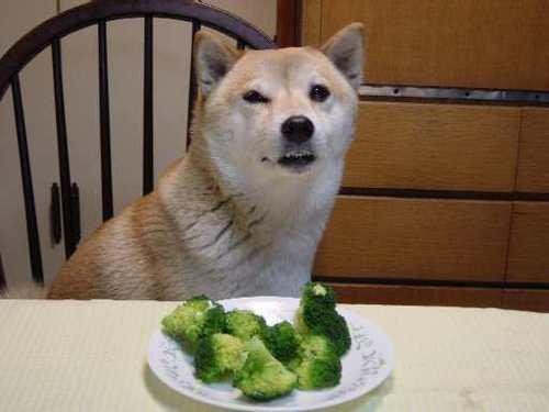 ブロッコリーを前にして露骨に嫌な顔をする柴犬
