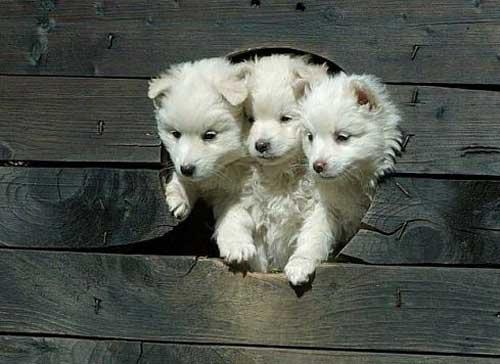 ケルベロス白い子犬