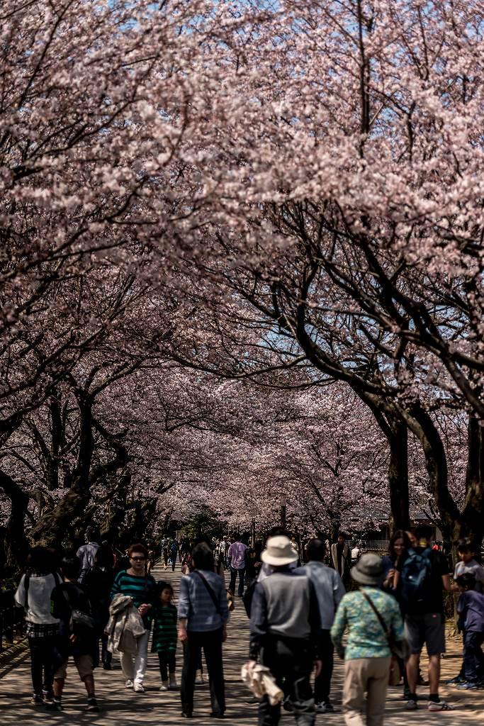 2016.04.02金沢城の桜13