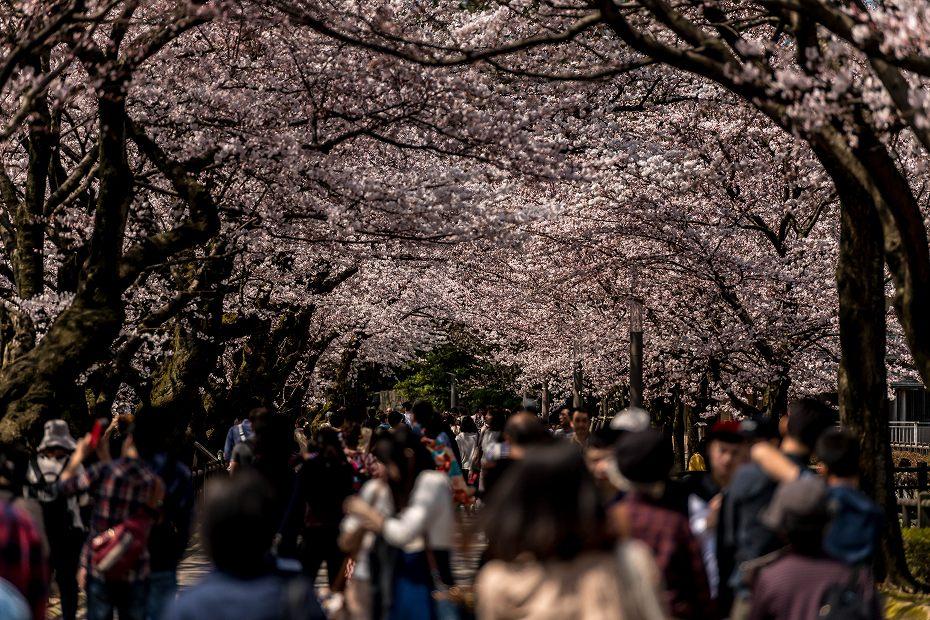 2016.04.02金沢城の桜12
