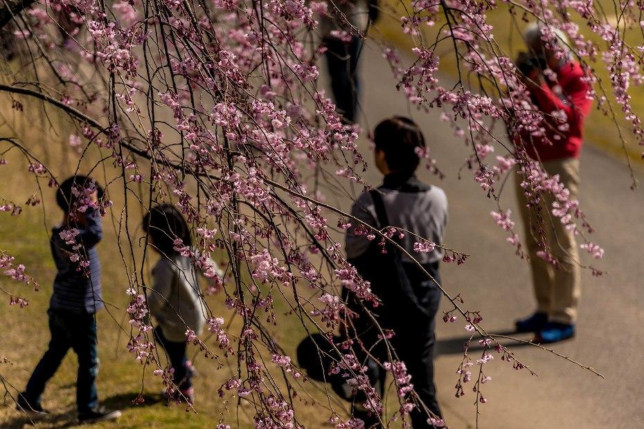 2016.04.02金沢城の桜9