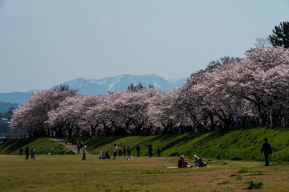 2016.04.06犀川の桜並木9