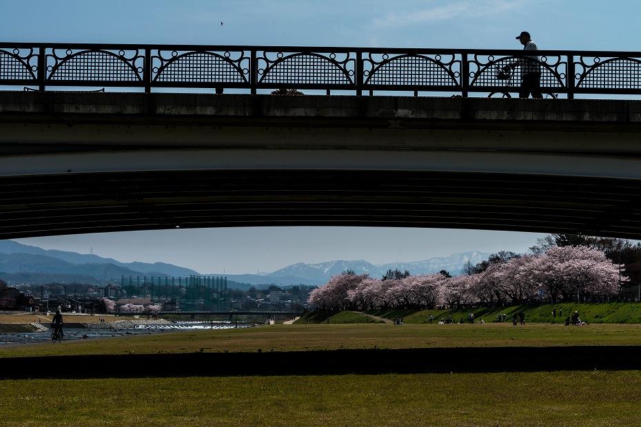 2016.04.06犀川の桜並木8