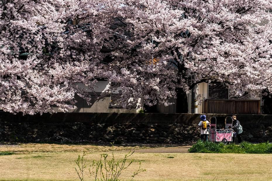 2016.04.06犀川の桜並木7