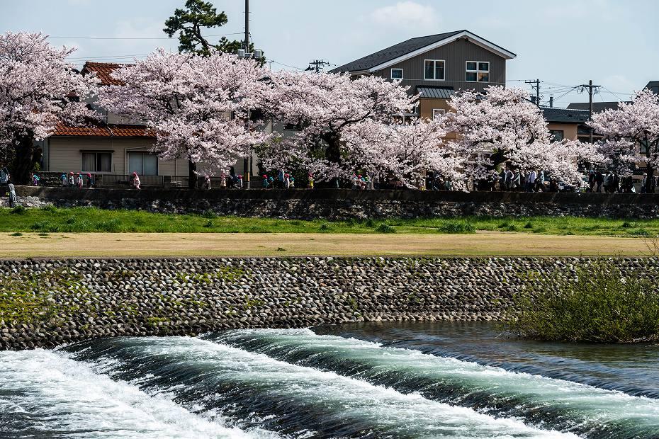 2016.04.06犀川の桜並木6