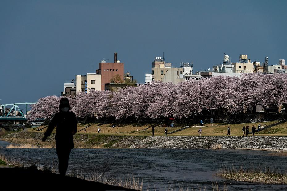2016.04.06犀川の桜並木5