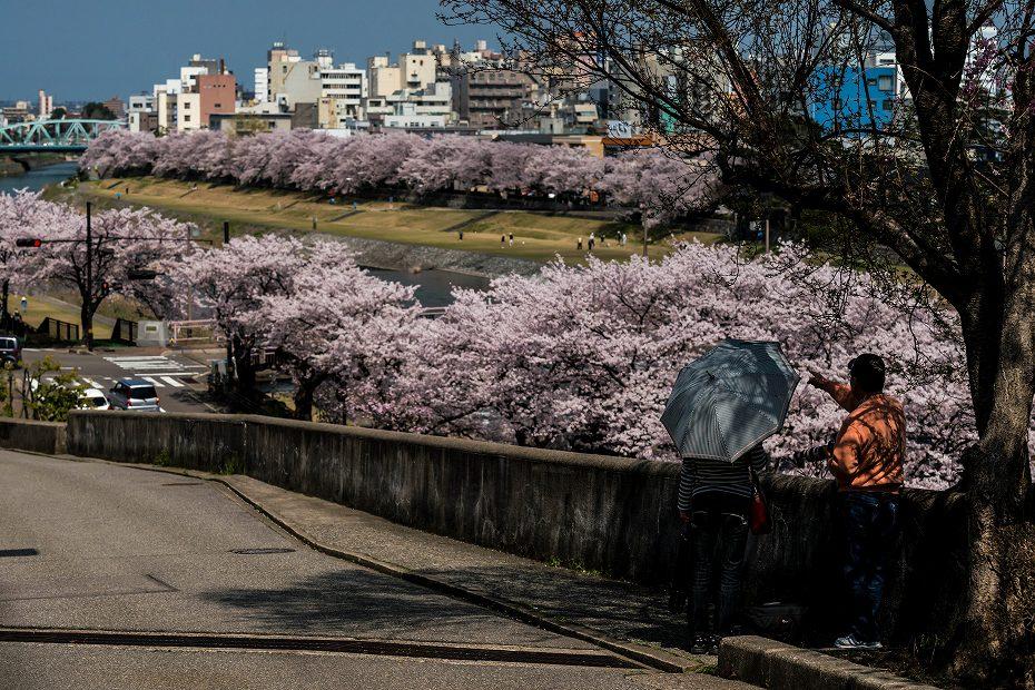 2016.04.06犀川の桜並木2