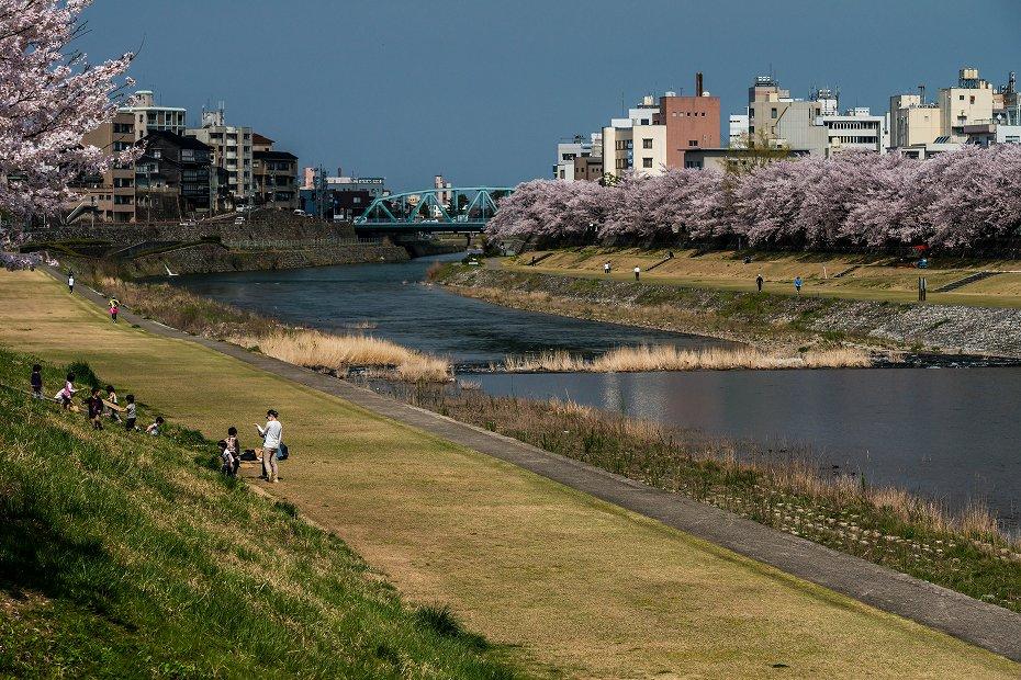 2016.04.06犀川の桜並木3
