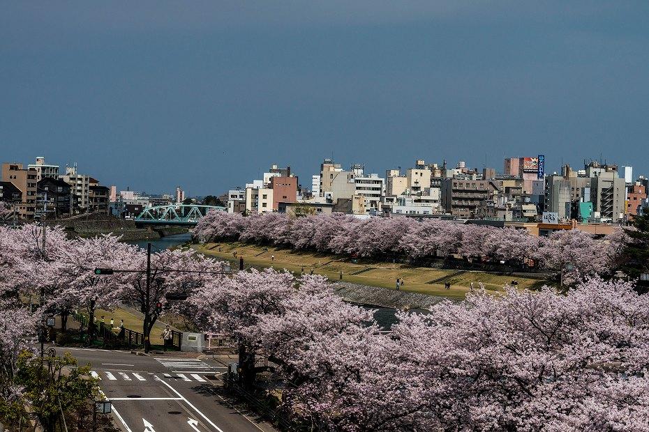 2016.04.06犀川の桜並木1