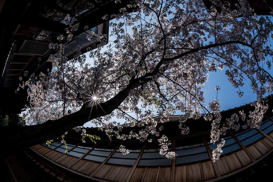2016.04.06主計町の桜13