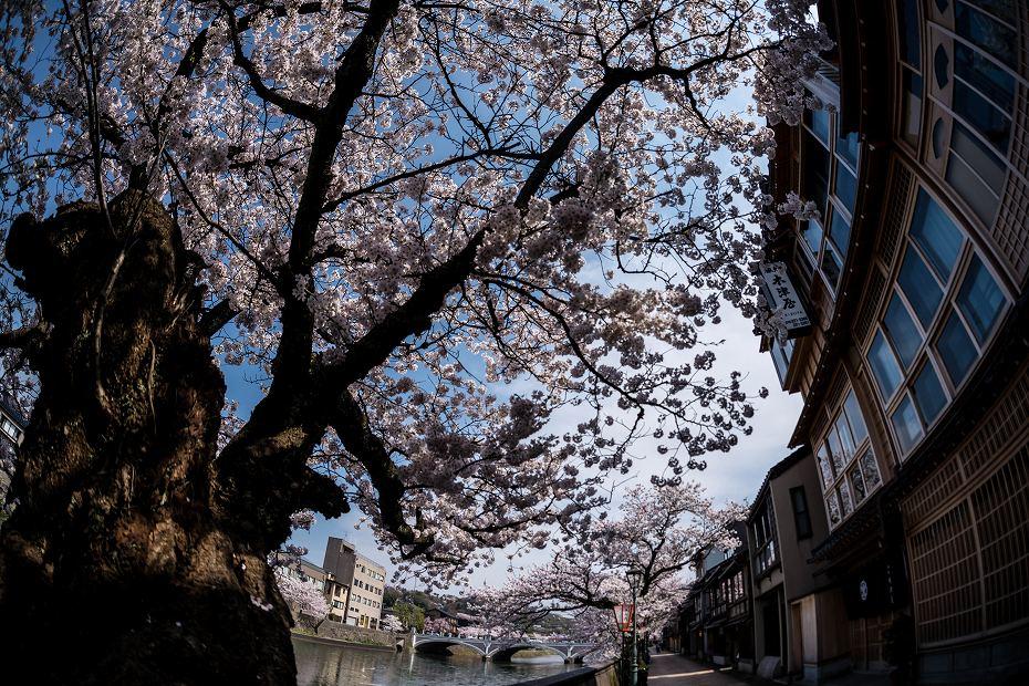 2016.04.06主計町の桜11