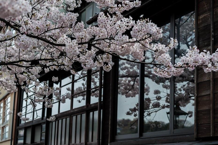 2016.04.06主計町の桜10