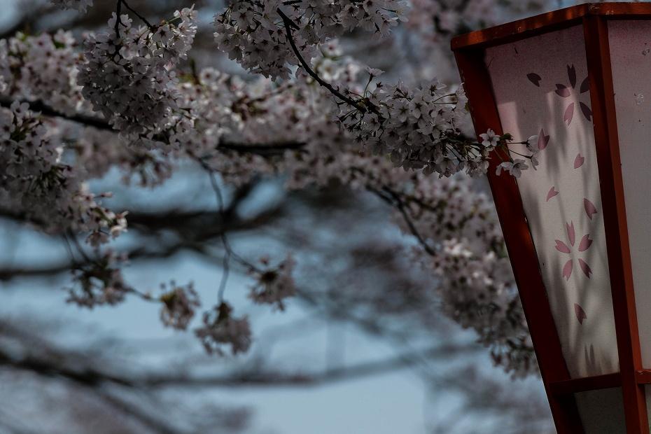 2016.04.06主計町の桜3