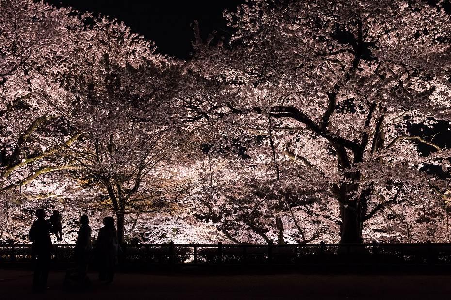 2016.04.06金沢城の桜8