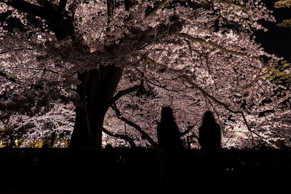 2016.04.06金沢城の桜7