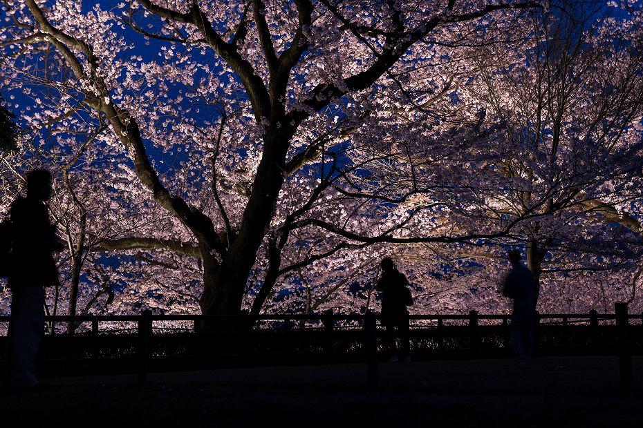 2016.04.06金沢城の桜6