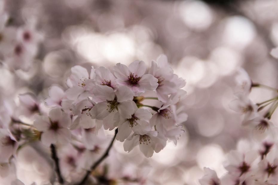 2016.04.06金沢城の桜2