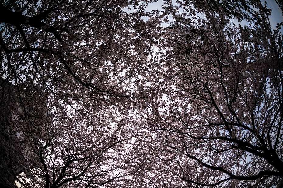 2016.04.06金沢城の桜1