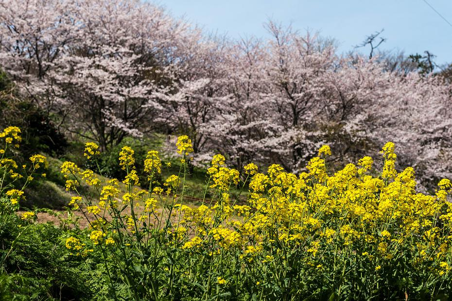 2016.04.09木ノ浦野営場の桜11