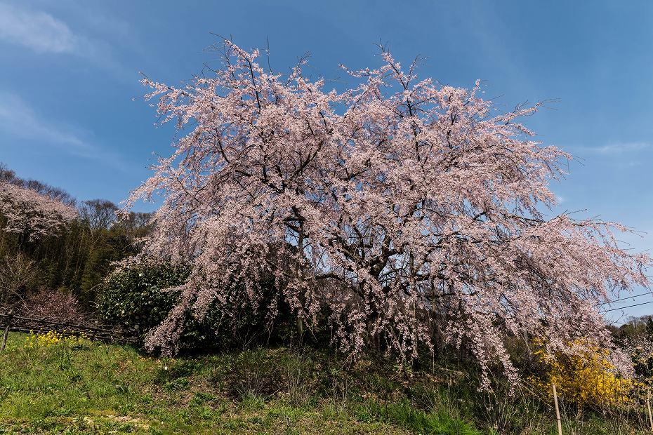 2016.04.09木ノ浦野営場の桜12