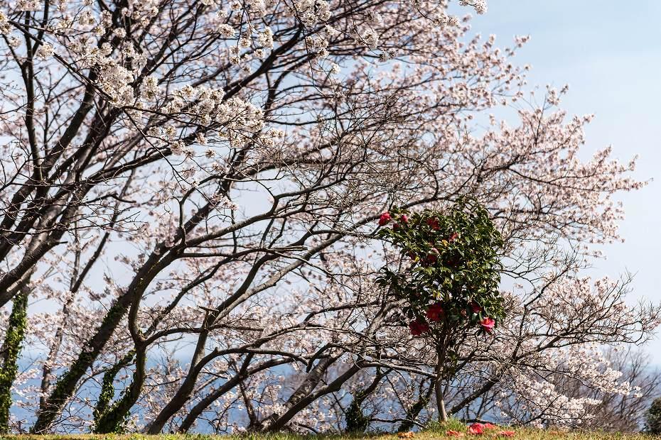 2016.04.09木ノ浦野営場の桜7