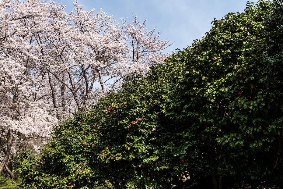 2016.04.09木ノ浦野営場の桜3