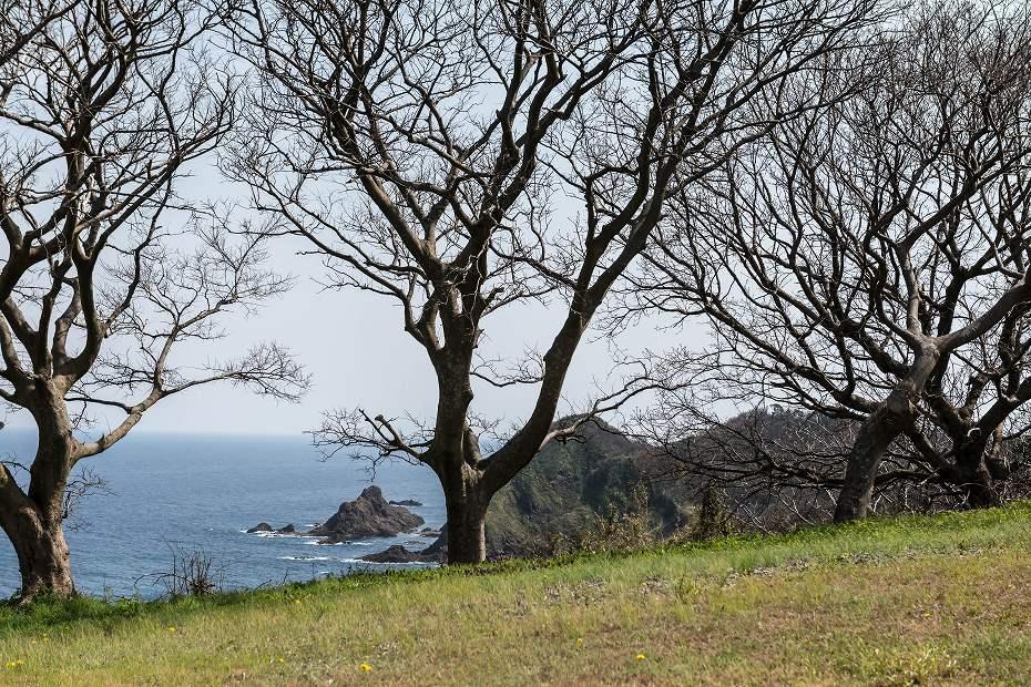 2016.04.09木ノ浦野営場の桜4