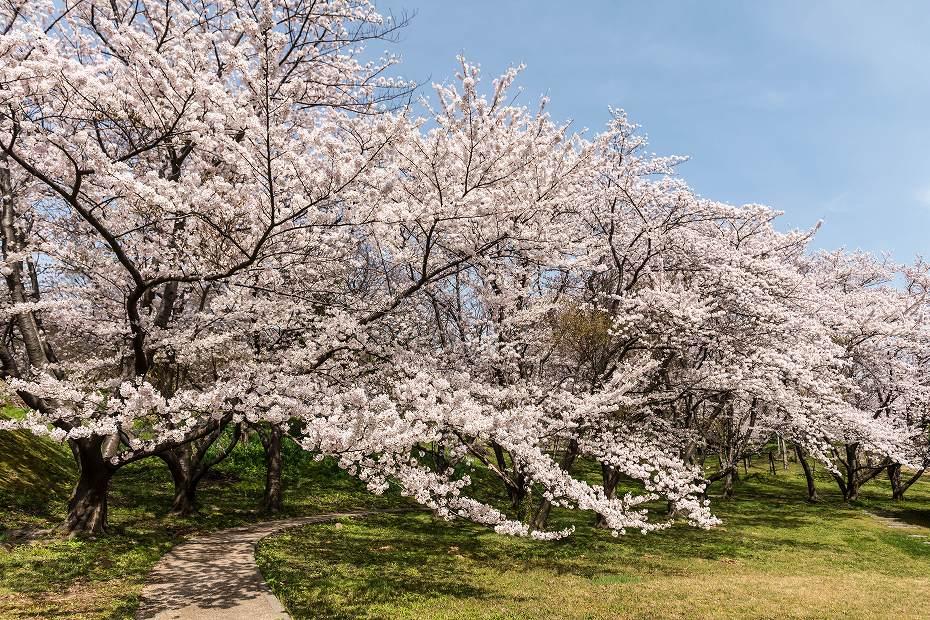 2016.04.09木ノ浦野営場の桜1
