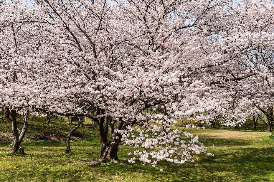 2016.04.09木ノ浦野営場の桜2
