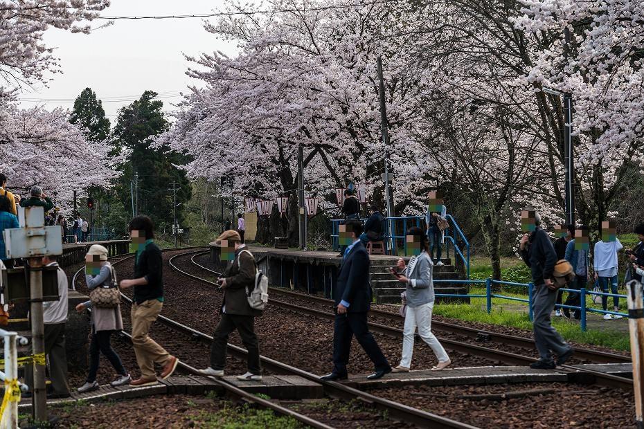 2016.04.09能登さくら駅の桜6