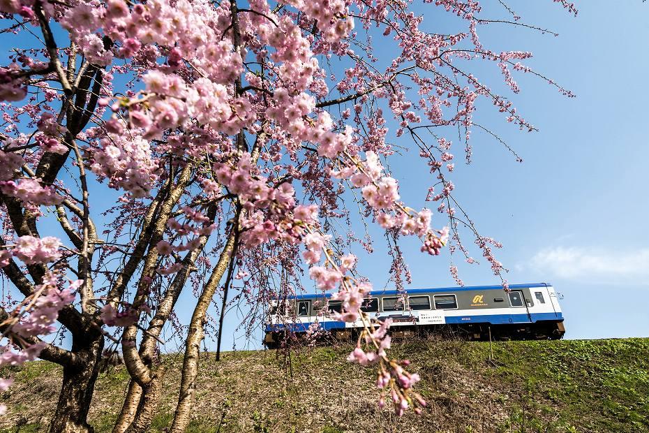 2016.04.09能登さくら駅の桜1