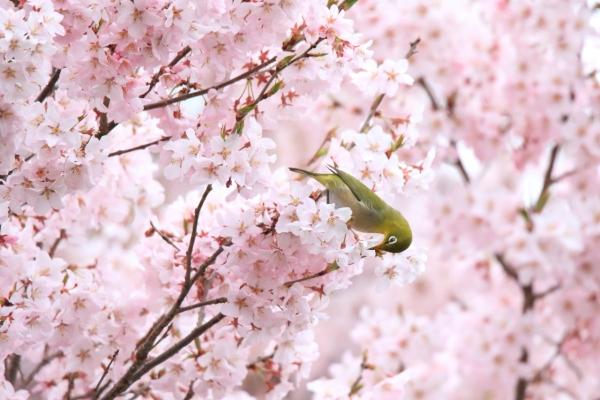 桜・メジロ_洗馬