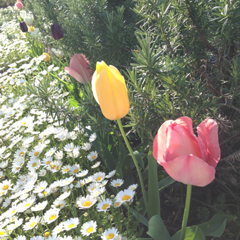 tulip01.jpg