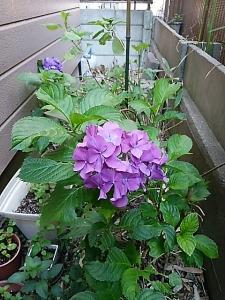 紫陽花咲きました