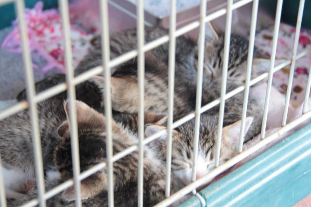 スエトシ牧場:子猫