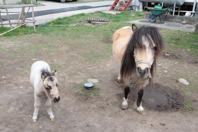 スエトシ牧場:ミニチュアホースの親子