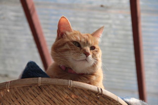 スエトシ牧場:茶トラ猫