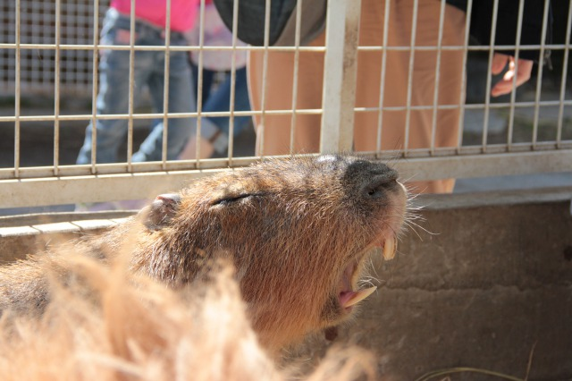 スエトシ牧場:カピバラさんのあくび